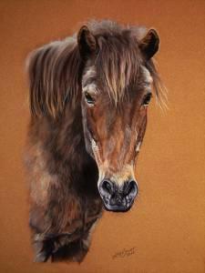 Pferdeportraits / Horse portraits - Islandpony / Icelandic horse