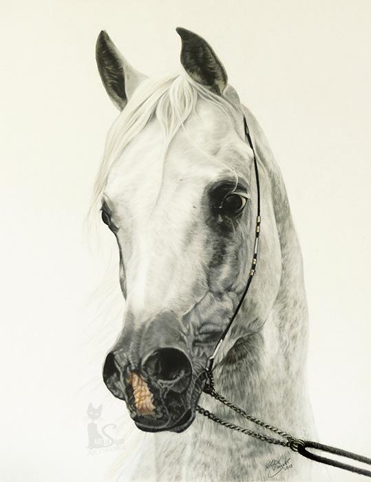 Tierzeichnungen und Pferdeportraits in Pastellkreide - Araberhengst EL THAY MASHOUR (40 cm x 50 cm) / Danke Martin Kubat