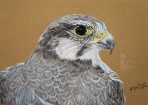 Falke Tierzeichnungen und Tierportraits in Pastell gezeichnet