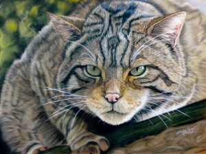 Wildkatze in Pastellkreide Tierzeichnungen von Katja Sauer